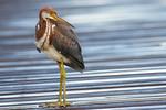 Tri Colored Heron-9098