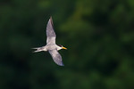 Tern in Flight-0116
