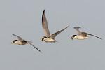 Tern: In Flight Snack